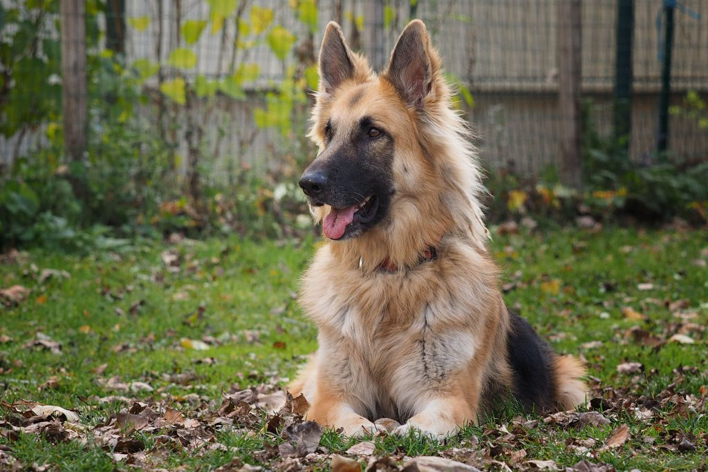 Schäferhund Lennox