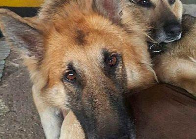 Schäferhunde Lennox und Merlin beim Chillen