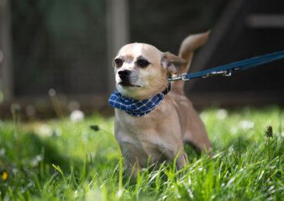 Chihuahua Rocco