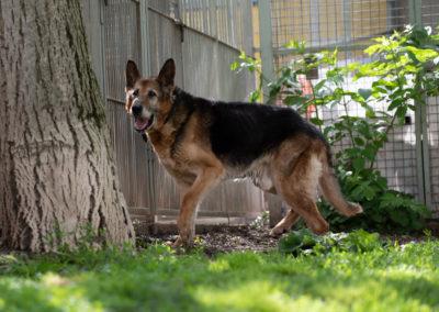 Schäferhund Philipp