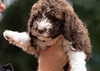 Lagotto Romagnolo Welpe - Little Star